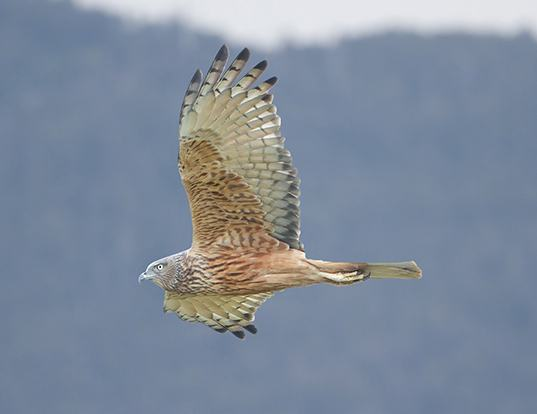 Picture of a swamp harrier (Circus approximans)