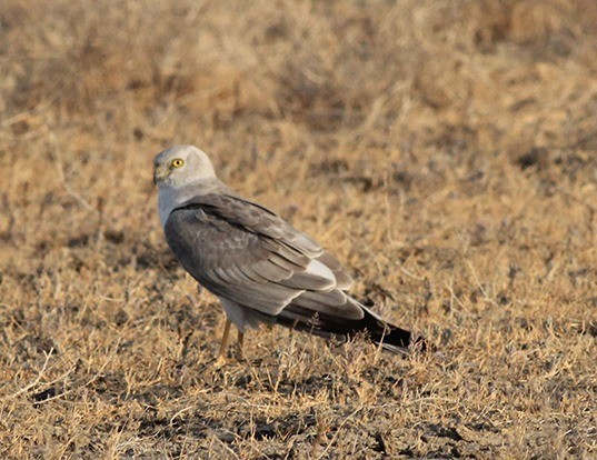 Picture of a pallid harrier (Circus macrourus)