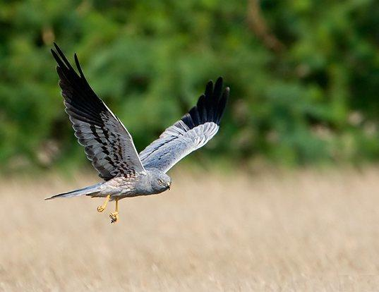 Picture of a montagu's harrier (Circus pygargus)