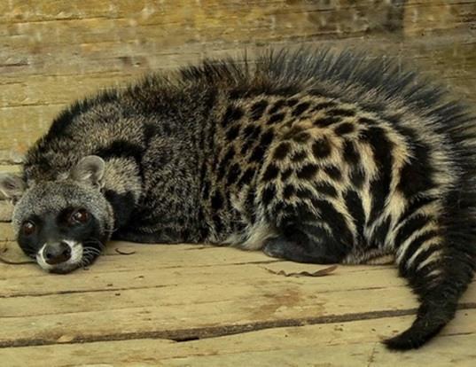 Picture of a african civet (Civettictis civetta)
