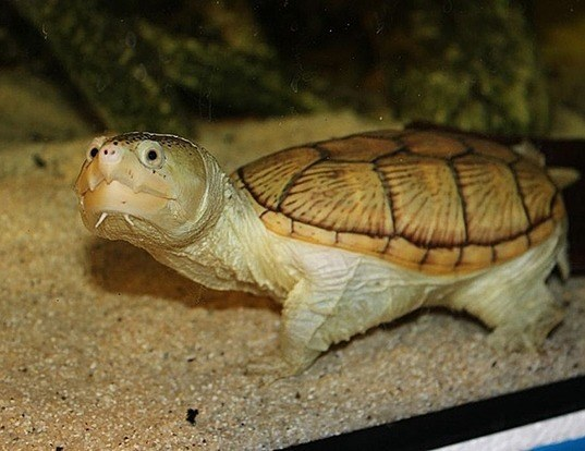 Picture of a narrow-bridged musk turtle (Claudius angustatus)