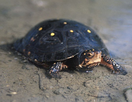 Picture of a spotted turtle (Clemmys guttata)