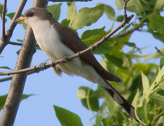 Picture of a yellow-billed cuckoo (Coccyzus americanus)