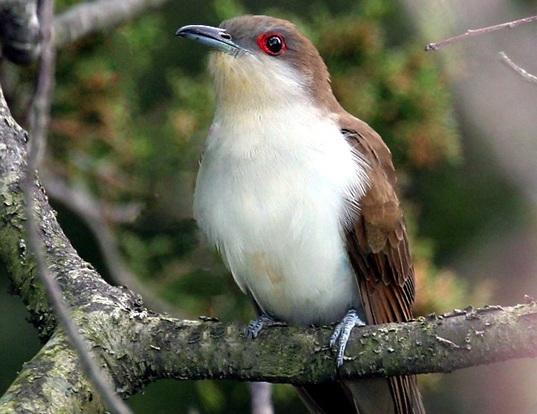 Picture of a black-billed cuckoo (Coccyzus erythropthalmus)