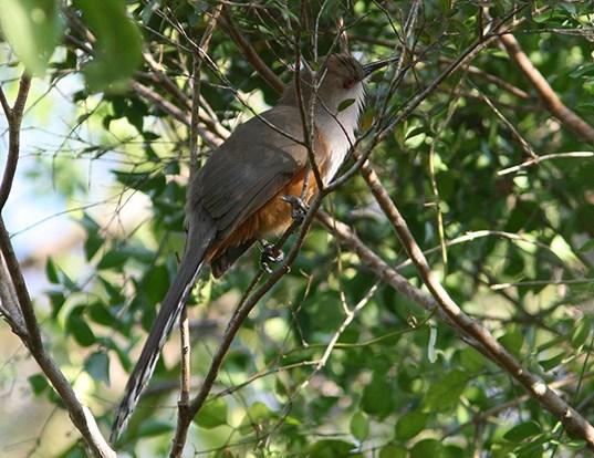 Picture of a puerto rican lizard cuckoo (Coccyzus vieilloti)