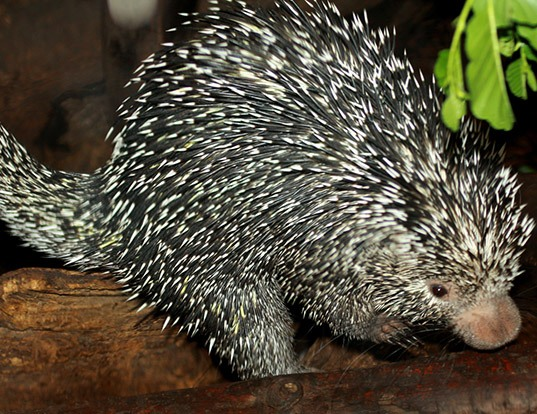 Picture of a brazilian porcupine (Coendou prehensilis)