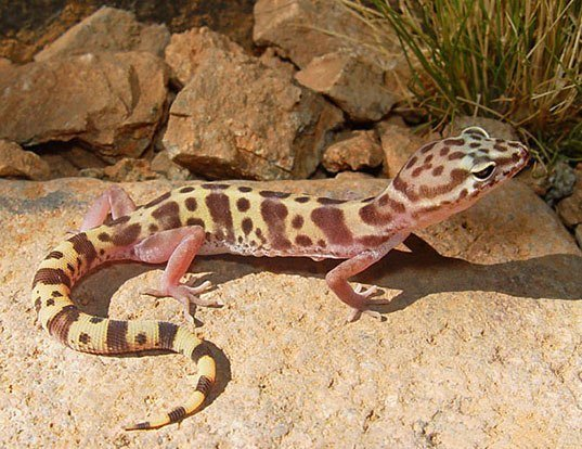 Picture of a western banded gecko (Coleonyx variegatus)