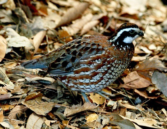 Picture of a northern bobwhite (Colinus virginianus)