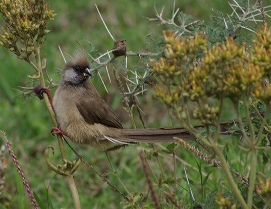 Picture of a speckled mousebird (Colius striatus)