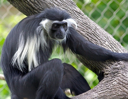 Picture of a angola colobus (Colobus angolensis)