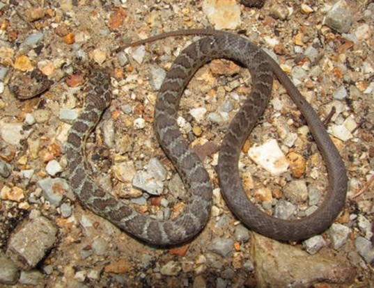 Picture of a eastern racer (Coluber constrictor)