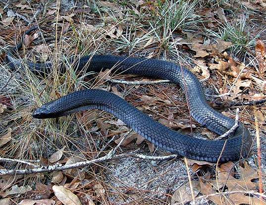 Picture of a american corais snake (Coluber corais couperi)