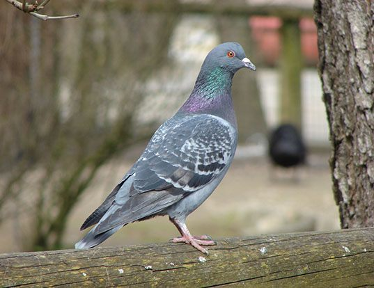 Picture of a rock dove (Columba livia)