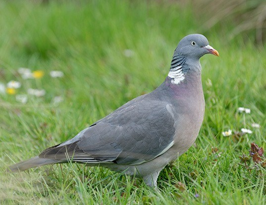 Picture of a woodpigeon (Columba palumbus)