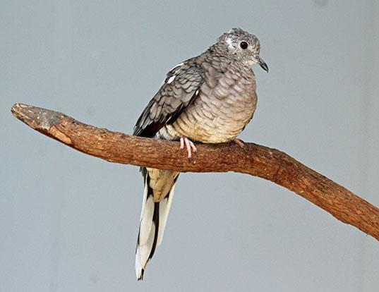 Picture of a inca dove (Columbina inca)
