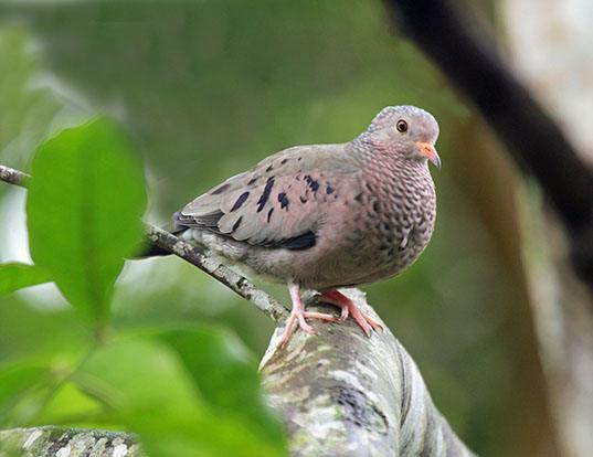 Picture of a ground dove (Columbina passerina)