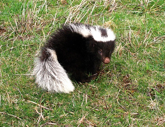 Picture of a molina's hog-nosed skunk (Conepatus chinga)