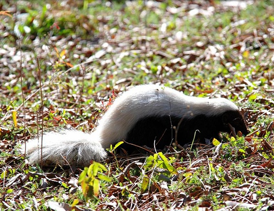 Picture of a american hog-nosed skunk (Conepatus leuconotus)