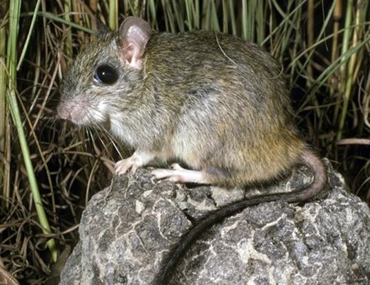 Picture of a brush-tailed rabbit rat (Conilurus penicillatus)