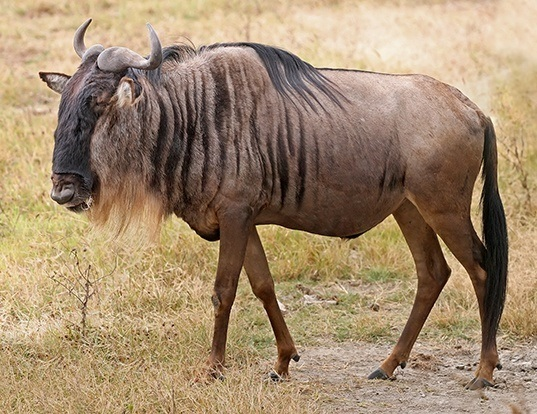 Picture of a wildebeest (Connochaetes taurinus)