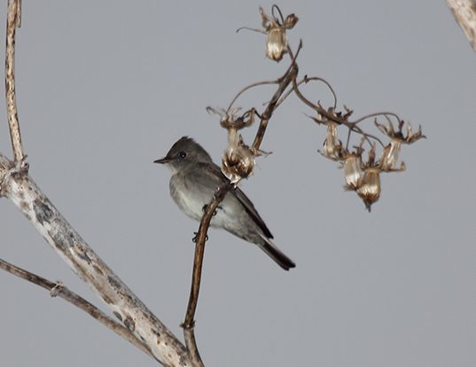 Picture of a western wood pewee (Contopus sordidulus)