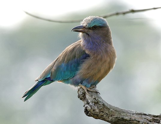 Picture of a indochinese roller (Coracias affinis)