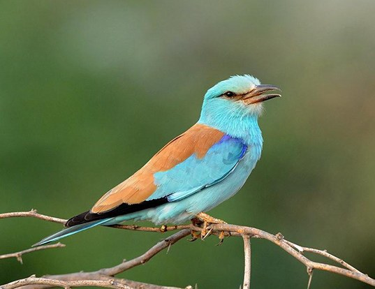 Picture of a european roller (Coracias garrulus)