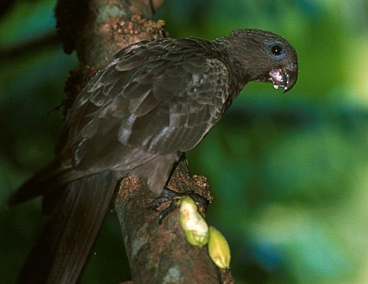 Picture of a black parrot (Coracopsis nigra)