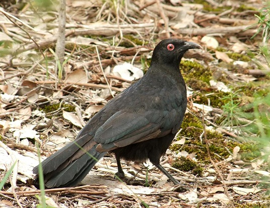 Picture of a white-winged chough (Corcorax melanorhamphos)