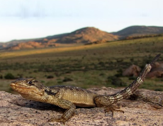 Picture of a african spinytail lizard (Cordylus polyzonus)