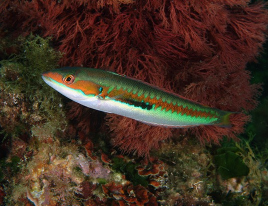Picture of a african rainbow wrasse (Coris julis)