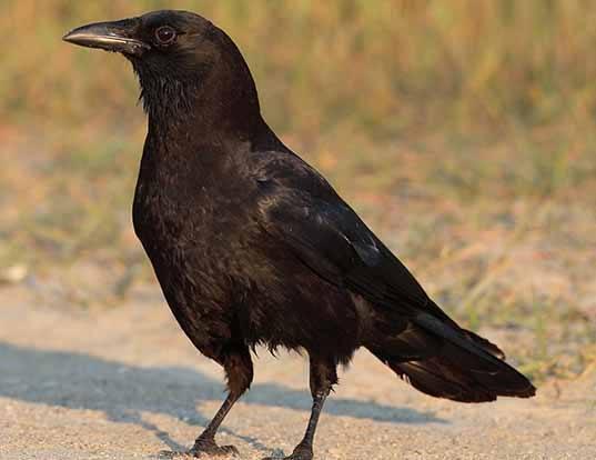 Picture of a american crow (Corvus brachyrhynchos)