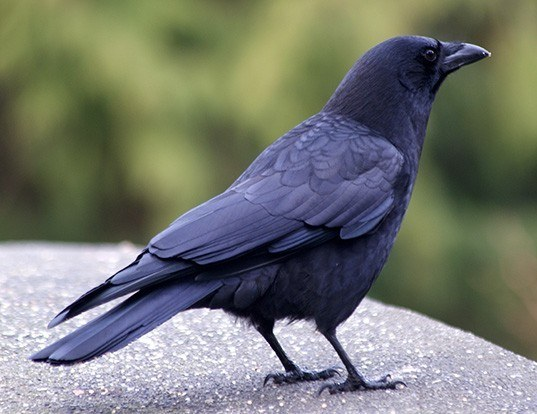 Picture of a northwestern crow (Corvus caurinus)