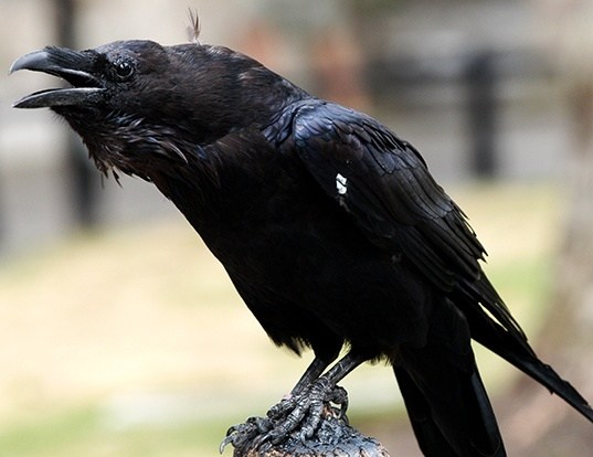 Picture of a raven (Corvus corax)