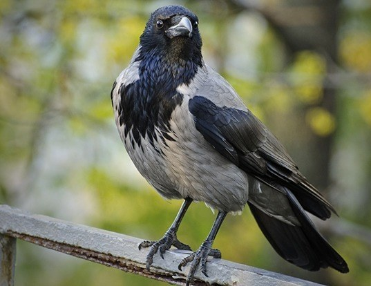 Picture of a hooded crow (Corvus cornix)