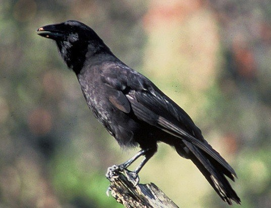 Picture of a hawaiian crow (Corvus hawaiiensis)