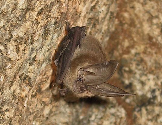 Picture of a townsend's big-eared bat (Corynorhinus townsendii)
