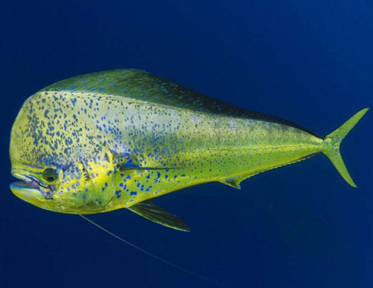 Picture of a pompano dolphinfish (Coryphaena equiselis)