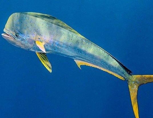 Picture of a mahi mahi (common dolphinfish) (Coryphaena hippurus)