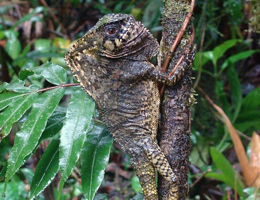 Picture of a smooth helmeted iguana (Corytophanes cristatus)