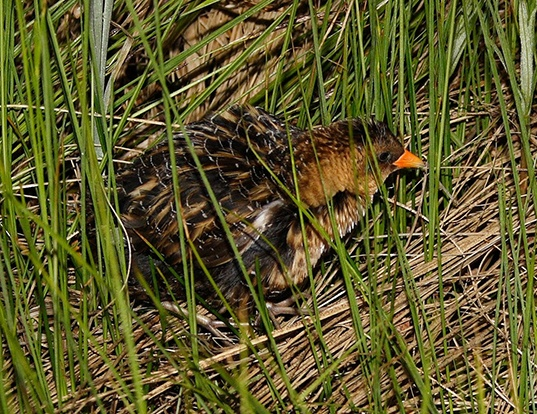 Picture of a yellow rail (Coturnicops noveboracensis)