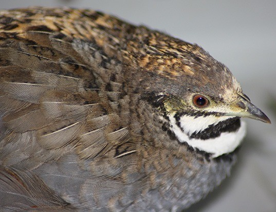 Picture of a blue-breasted quail (Coturnix chinensis)