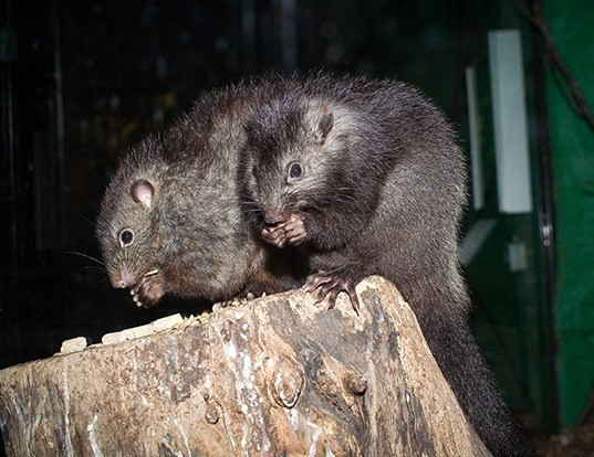 Picture of a panay crateromys (Crateromys heaneyi)