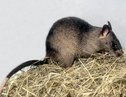 Picture of a northern giant pouched rat (Cricetomys gambianus)