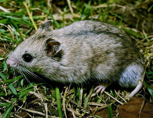 Picture of a striped dwarf hamster (Cricetulus barabensis)