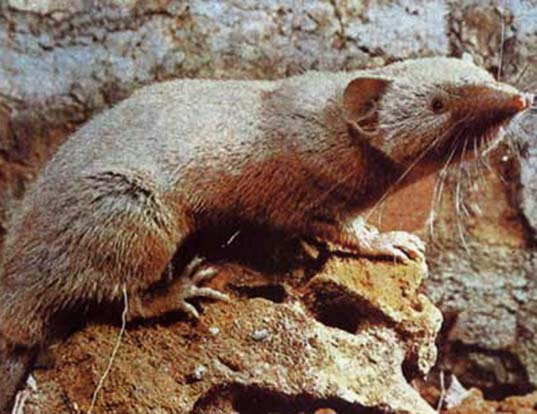 Picture of a greater red musk shrew (Crocidura flavescens)