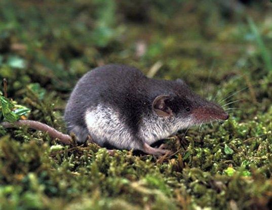 Picture of a bicolored shrew (Crocidura leucodon)