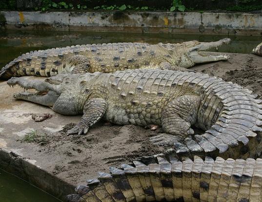Picture of a oronico crocodile (Crocodylus intermedius)