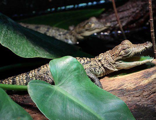 Picture of a morelet's crocodile (Crocodylus moreletii)