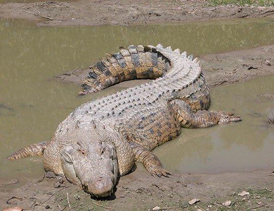Picture of a salt-water crocodile (Crocodylus porosus)
